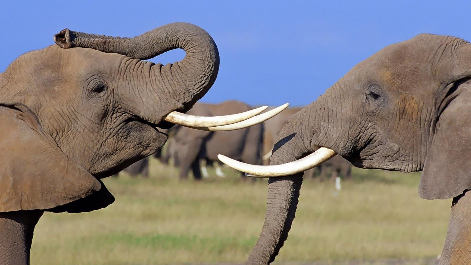 olifanten achtergronden bureaublad - photo #46
