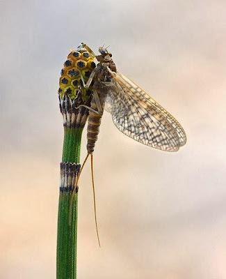 ذبابة تعيش ليوم واحد فقط - ذباب مايو - fly flies Ephemeroptera