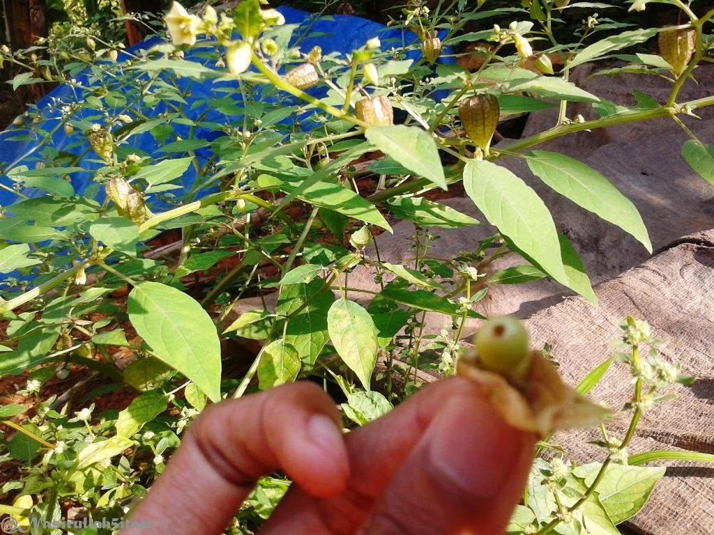 Pohon Ciplukan banyak buahnya