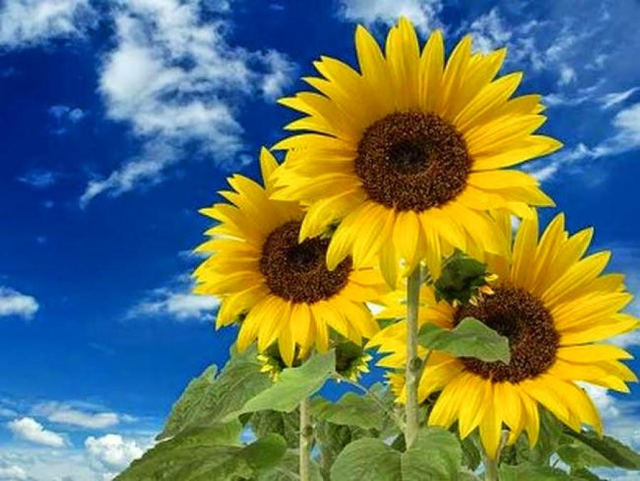 Flores de Girasol
