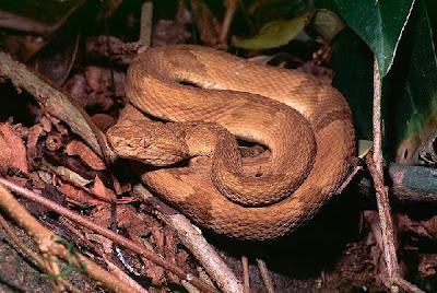 extinction serpentes serpiente de la isla quemada Bothropoides insularis