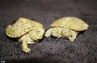Chuyện tình khó đỡ 2 con rùa