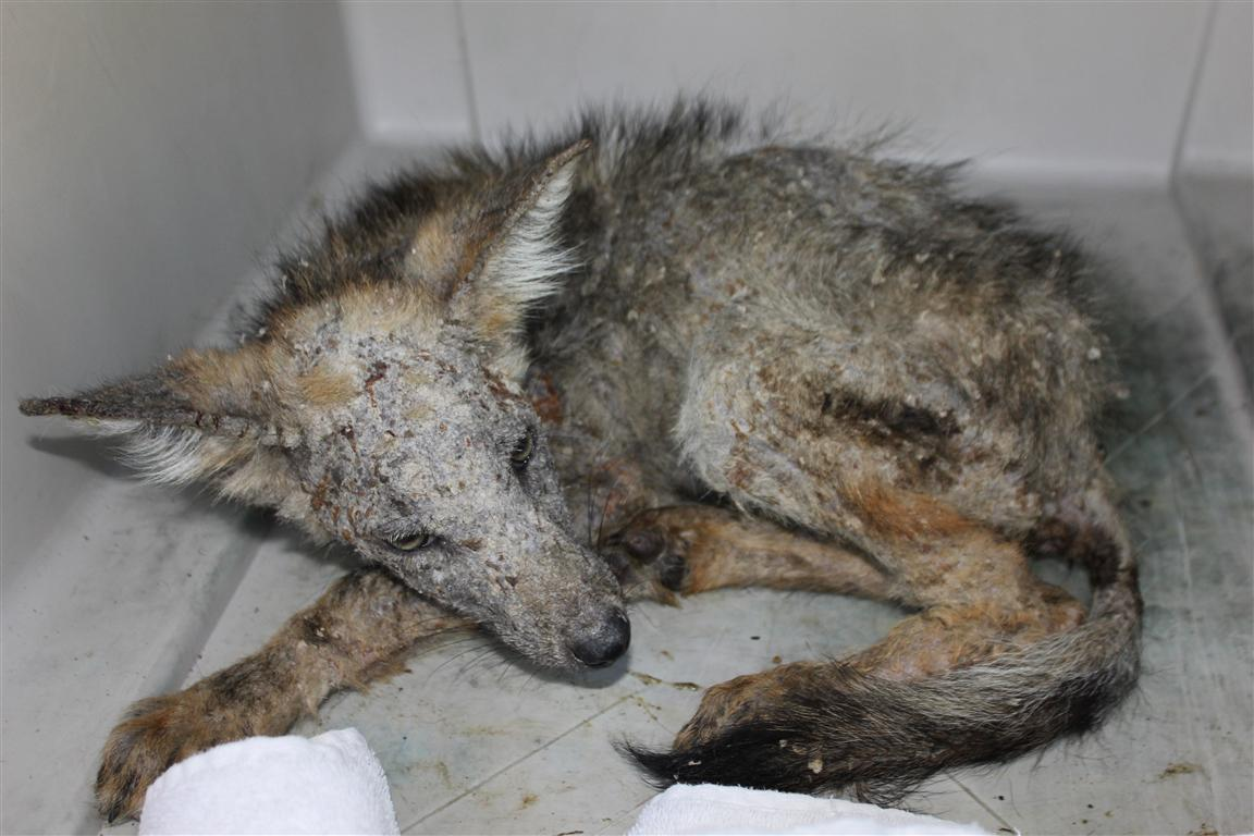 The Laughing Raccoon: Animal Control and Rehabilitation go ... Raccoon With Mange