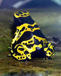 Poison Dart Frog Yellow and Black