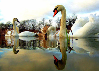 la mejor foto de cisnes
