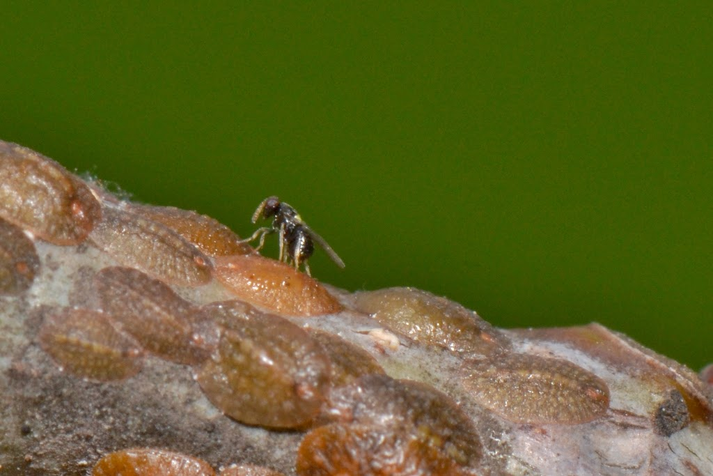 tiny parasitoid wasp laying eggs on scale insects