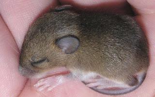 Ratón durmiendo