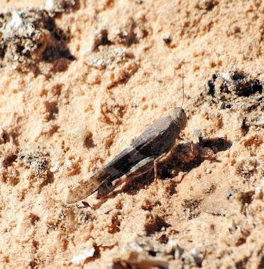 Grasshopper cf Circotettix carlinianus 101