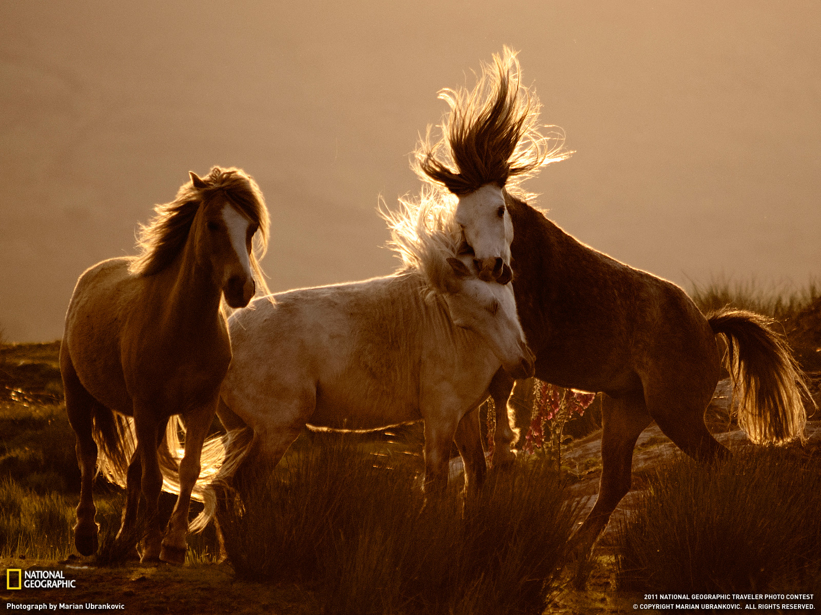 Beautiful   Wallpaper Horse National Geographic - National+Geographic+-+Animal+Photos+-+July+2011+-+Horses%252C+Wales+001  Picture_206632.jpg