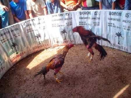 Gobernador de Morros Blancos cría gallos de pelea en el penal