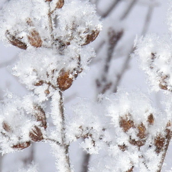 Frost On Seed Pods - Snow Photograph
