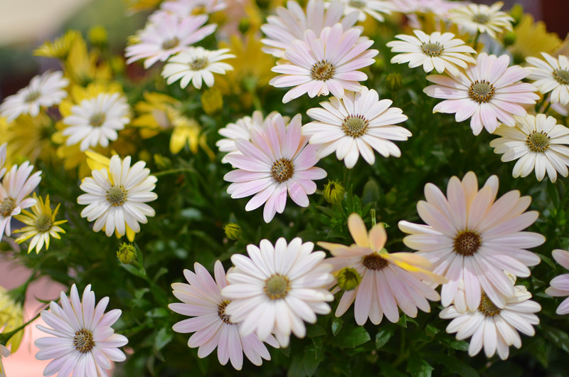 Serenity 'Spring Day'osteospermum, BallHort Spring Trials, Photo by Amy Renea of A Nest for All Seasons