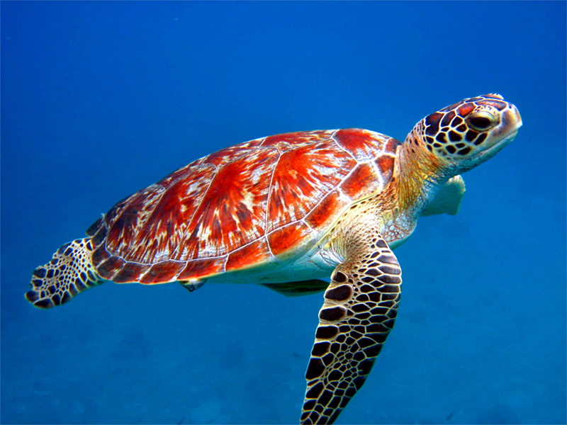 sea turtle red