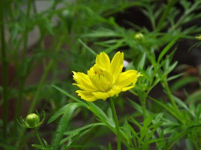 bunga-tembelek