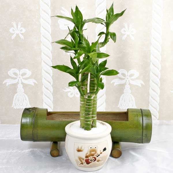 Wonderful Indoor Bamboo Plant Care 600 x 600 · 33 kB · jpeg