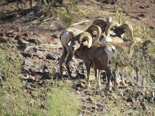 AZ+Desert+Bighorn+Sheep+Scouting+Pics+by+Colburn+and+Scott+Outfitters+9.JPG