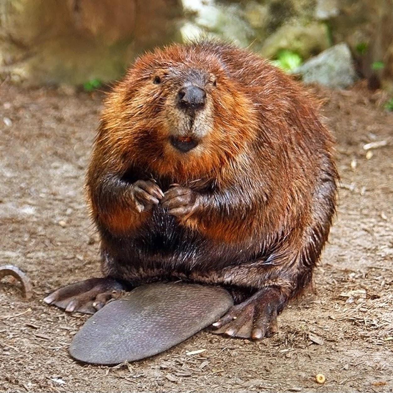 North American Beaver