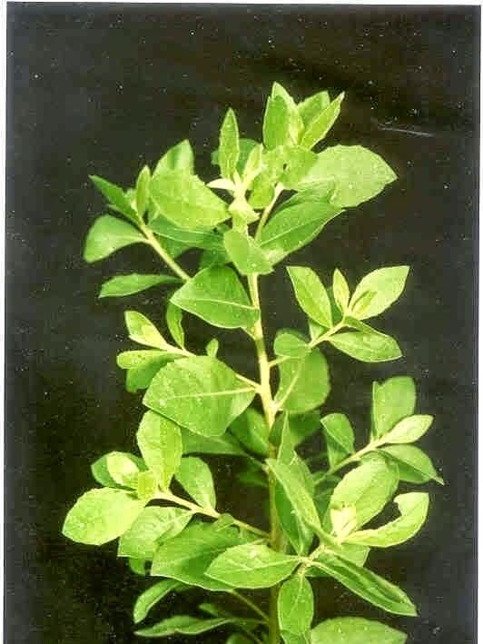 khasiat manfaat daun beluntas untuk kesehatan kecantikan