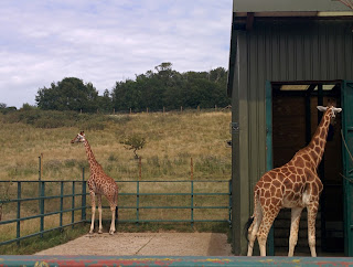 Giraffes looking all leggy