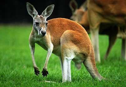 http://4.bp.blogspot.com/-jXcAWvPeLrU/T-lPcMfK3nI/AAAAAAAAAXU/ebhL4HsybOA/s640/Kangaroo.jpg