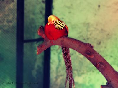 birds, pheasants, meditating bird, sleeping bird