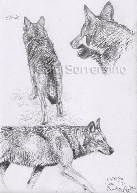 Gaia sorrentino disegnatrice naturalista schizzi e for Lupo disegno a matita