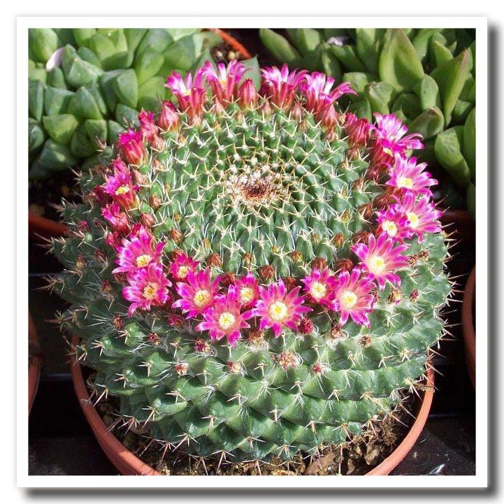 Sanremo buongiorno primo premio per le succulente in for Pianta cactus
