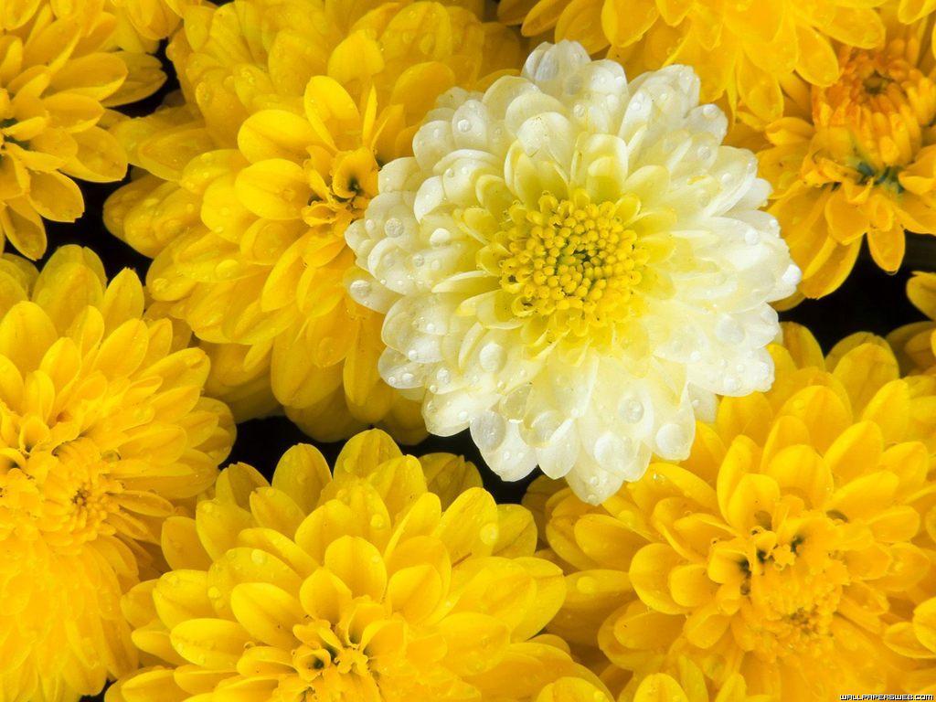 flowers for flower lovers.: Flowers desktop wallpapers.
