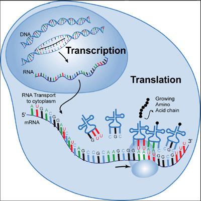 Transcription translation diagram biology circuit connection diagram biology translation akba katadhin co rh akba katadhin co letter with transcription diagram biology reverse transcription ccuart Images