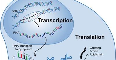 AP Biology    for Dummies     Translation