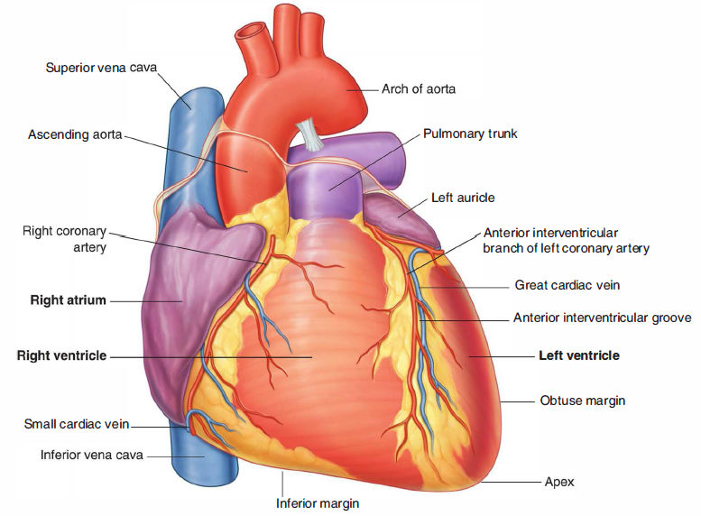 Heart | Your Medical Advices