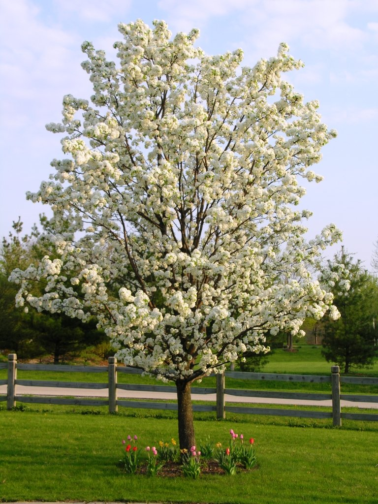 My environmental science blog Bradford pear
