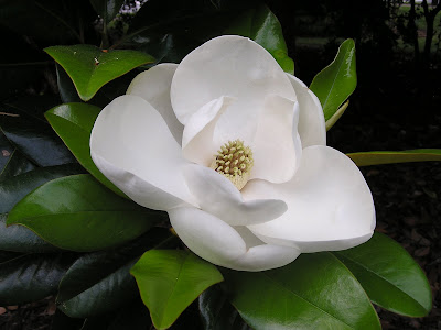 Beautifull Magnolia Flower Image
