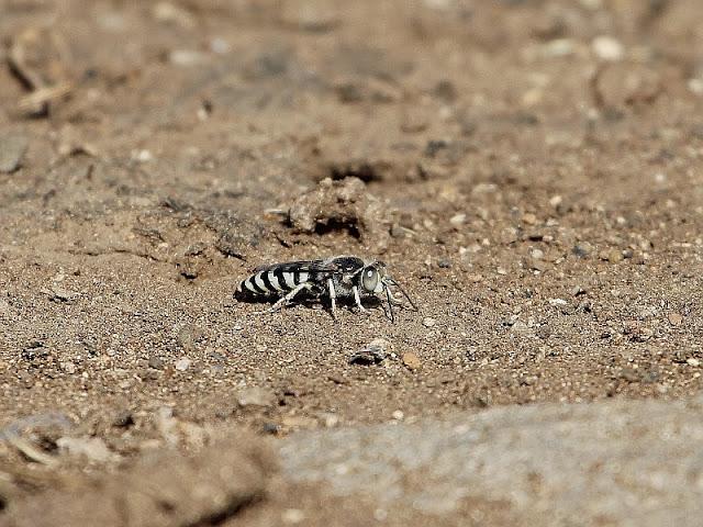 Stingless Bee Ethiopia
