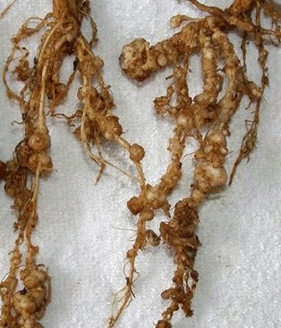 brinjal maruthuva payangal. brinjal root, brinjal leaves, brinjal plant. blood pressure blood blocks katharikaai, katthari kaai in englsish, kattharikaai botanical name, aasthuma, asthumaa, ashthuma, asthuma, moochu kuzhai, moochu kulaai, moochu kuzhal, vali, etchi surkka, udal edai kuraiya, koluppu karaiya, rattha kuzhai adaippu, ratha kuzhai adaippu, mugam sivappu, kaathu vali, pungal, rattha koluppu, rattha kozhuppu suttha padutha, prinjal in tamil, katthari kaai botanical name.