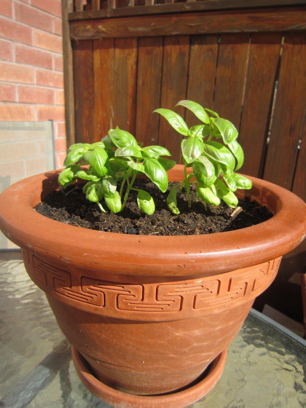 growing in pots, basil, herbs