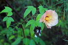Galapagos cotten (Gossypium darwinii)
