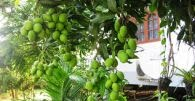 cara menanam biji mangga, cara menanam mangga, cara menanam mangga, cara menanam pohon mangga, pengertian buah mangga, artikel buah mangga, fungsi buah mangga, kegunaan buah mangga;