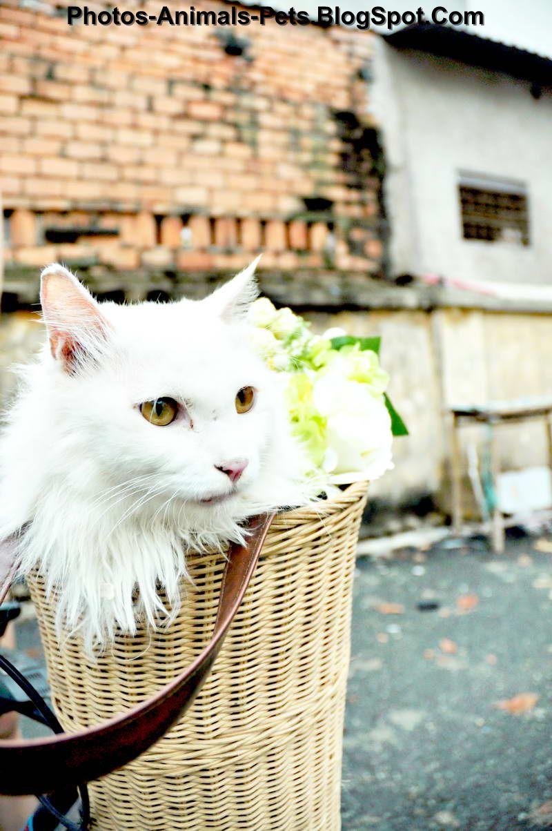 http://4.bp.blogspot.com/-j_-I3cl_odI/TfhIrstvbEI/AAAAAAAABWs/y1Ot33rL_1c/s1600/white%2Bcats%2Bpictures%2B2012_0001.jpg
