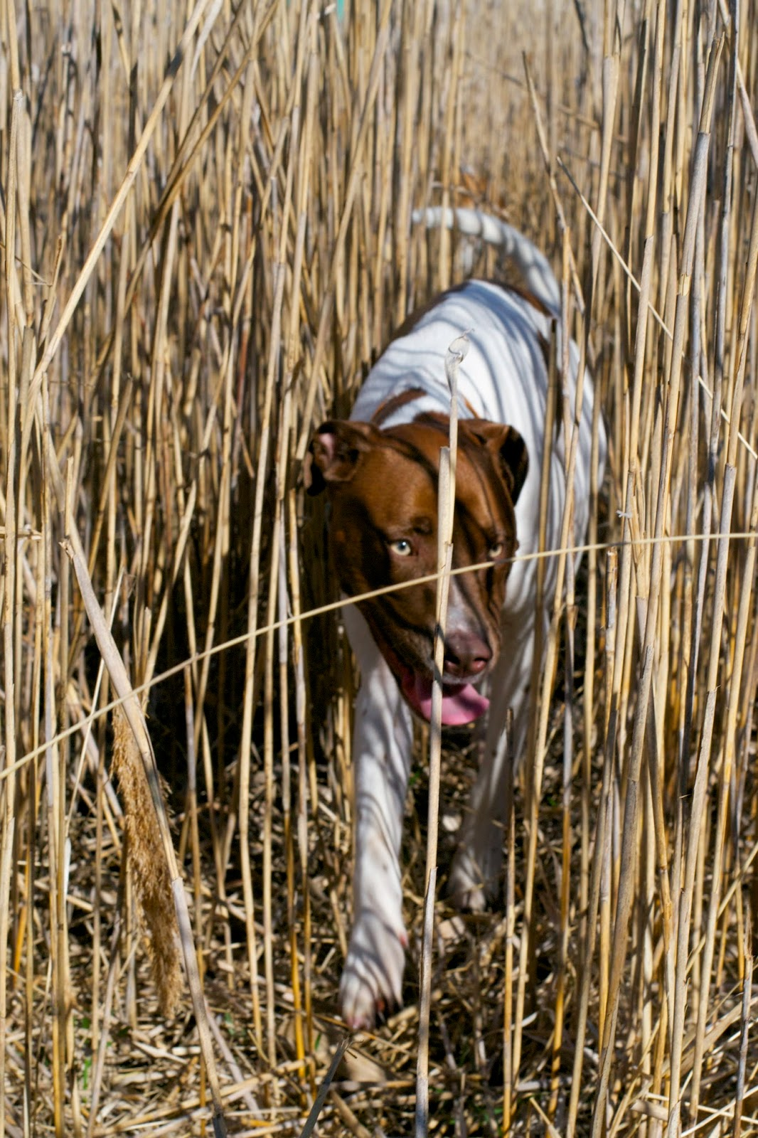 Bessie Mu-dog emerging from exploring the tall beach grass.