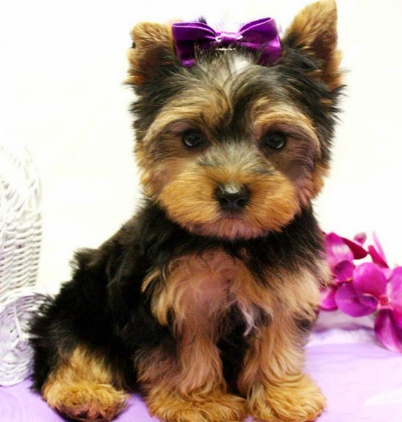 Top Amazing Beautiful Yorkie Puppies
