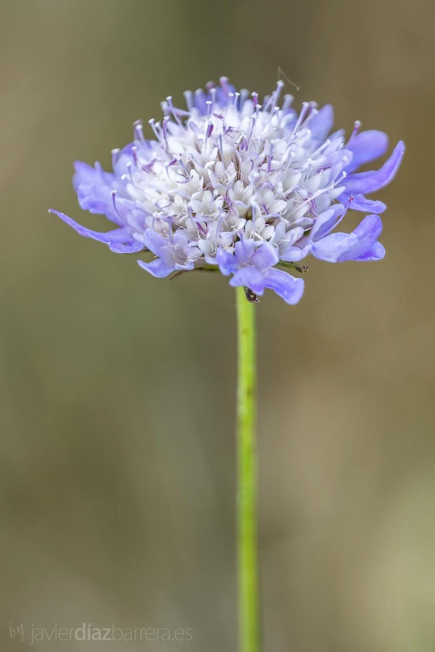 Plantas De Flores Azules Fotos - Solanum wendlandii o Solano de flor azul Consulta Plantas