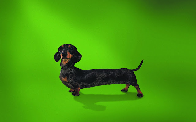 dachshund, model wallpaper, funny wallpaper