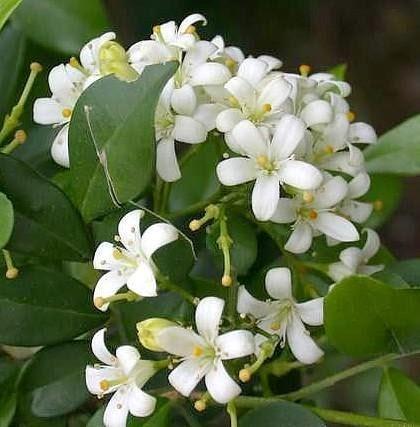 adalah tanaman hias yang menghasilkan wangi yang tajam terutama pada malam hari  Bunga Kemuning dan Cara Perawatannya
