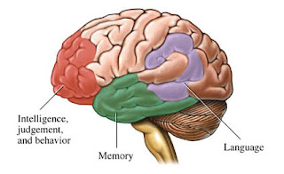 Diagram of brain showing areas that control intelligence, judgement and behavior; memory and lanaguage