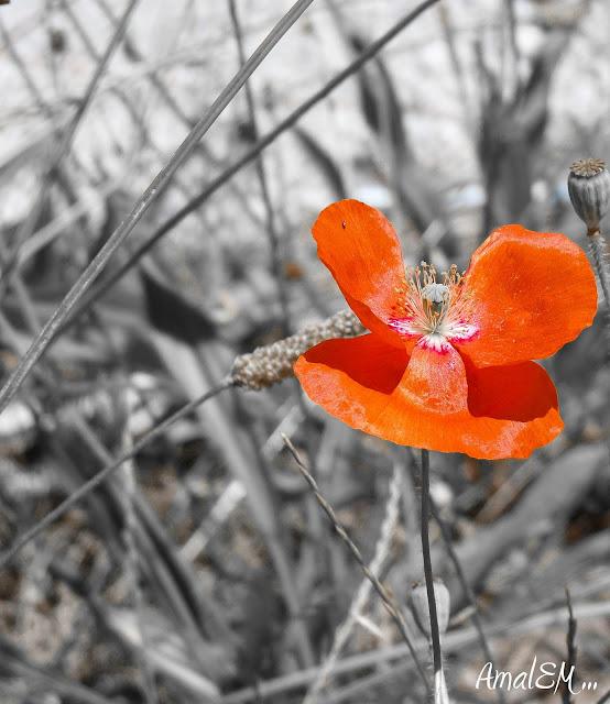 Ça titille les papilles !, Rouge, Coquelicot, Fleur, Flore