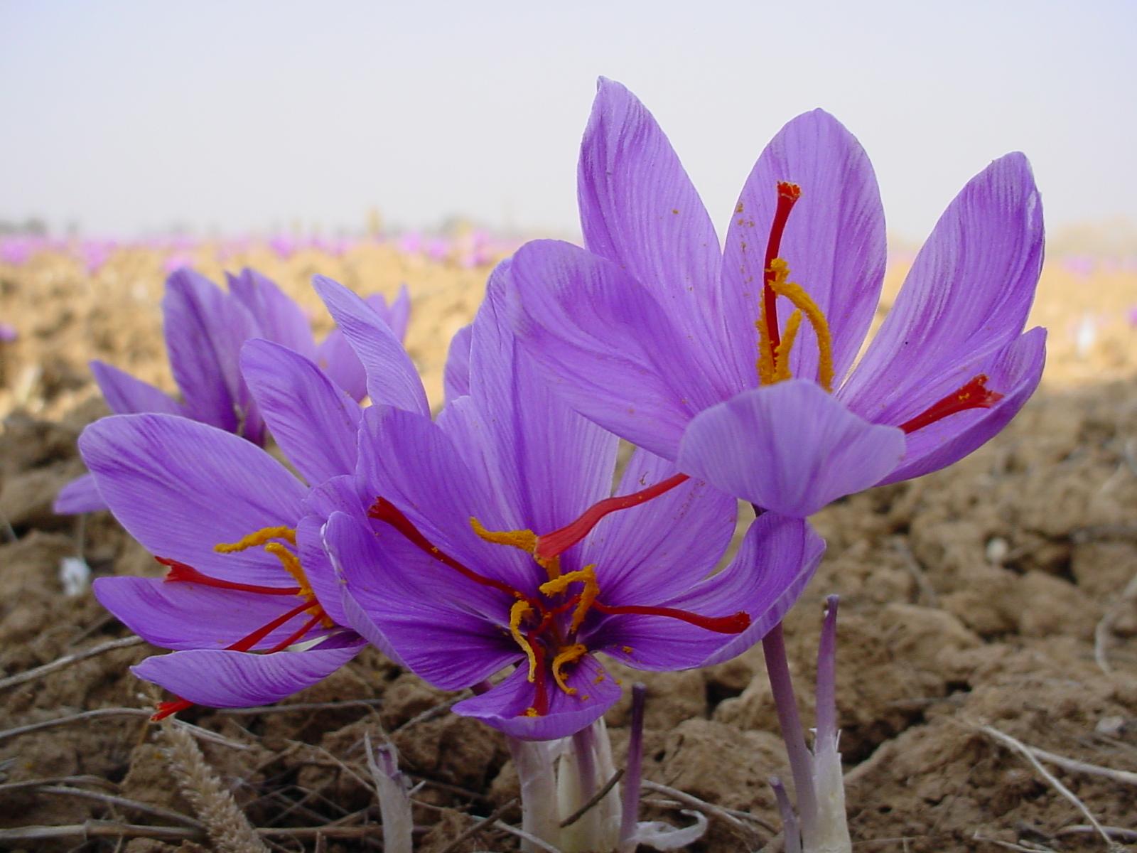 flowers for flower lovers Saffron flowers details