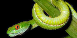 Ditemukan, Dua Spesies Baru Ular Berbisa