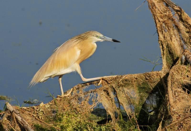 Squacco Heron photography copyright Iordan Hristov