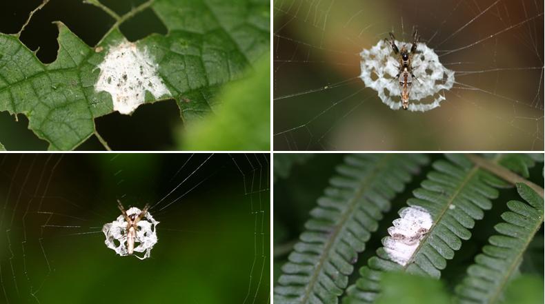 La araña que se camufla como excrementos de aves